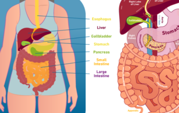 Digestive Health – What Is It? Role Of Digestion In Health