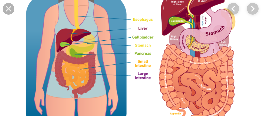 Role Of Digestion In Health